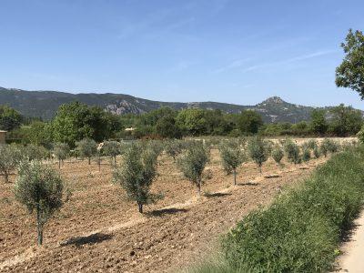 Olijfgaard bij het park